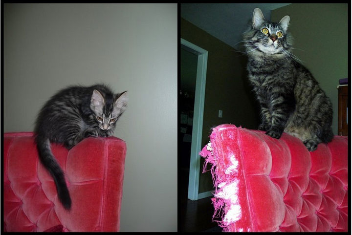 29 Before and After Photos of Family Cats - She didn't grow fond of her chair.
