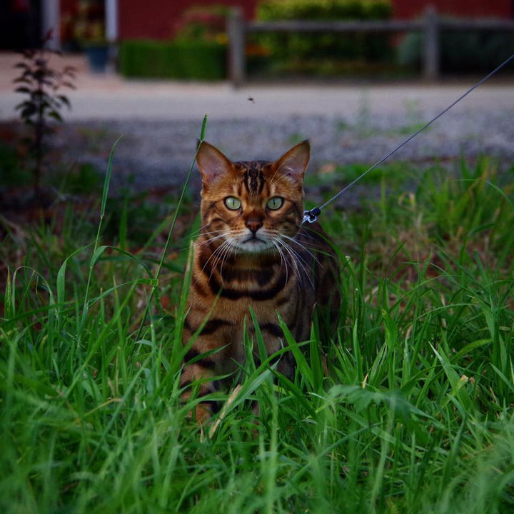Thor the Bengal cat loves exploring the neighborhood, going for walks, and meeting new friends.
