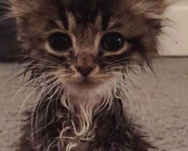 Tiny Kitten Born Without Elbow Joints Grows Beautiful Cat.