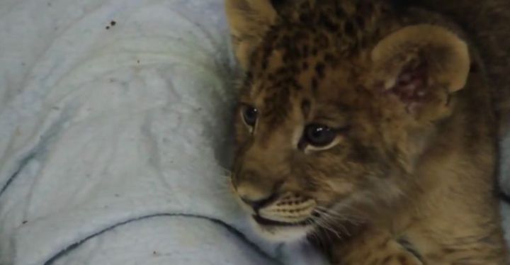 Lion Cub Gives His Best Roar and Makes the Cutest Sound Instead.