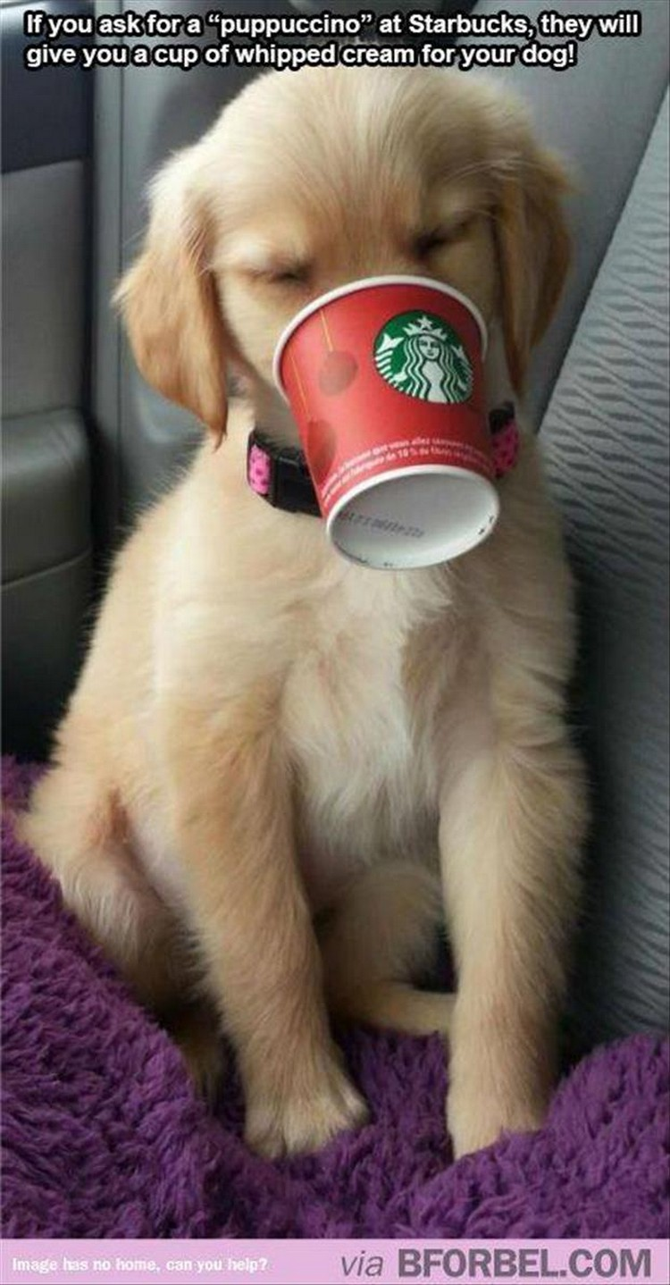 "37 Funny Animal Memes - ""If you ask for a puppuccino at Starbucks, they will give you a cup of whipped cream for your dog!"""