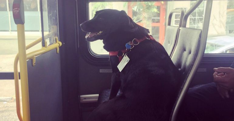 Metro Dog Eclipse Rides Seattle Bus All the Way to the Dog Park.
