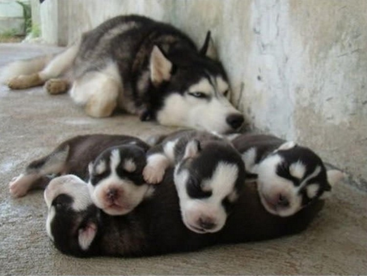 21 Proud Mommy Dogs - Proud mommy taking a nap with her puppies.