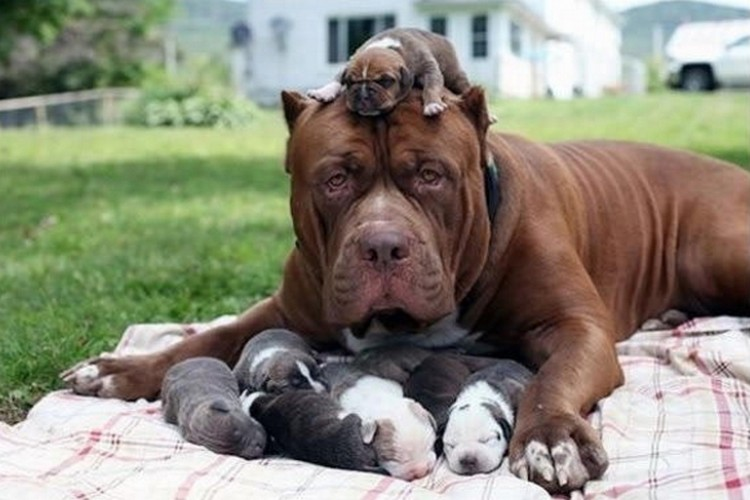 21 Proud Mommy Dogs - These pit bulls want to grow up big and strong like their parents!