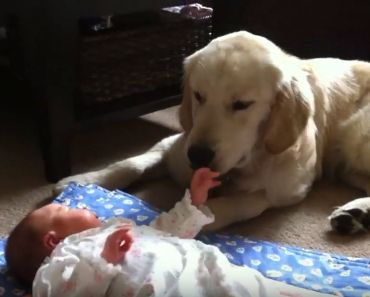 8-Month-Old Golden Retriever Puppy Babysits Newborn Baby Sister.