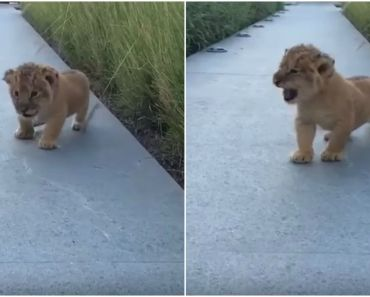 Cute Lion Cub Tries His Best To Roar But Squeaks Instead.