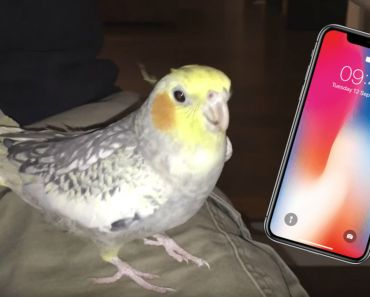 Pet Cockatiel Sings a Popular iPhone Ringtone When Upset.