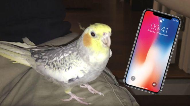 Pet Cockatiel Bird Sings iPhone Ringtone When Upset.