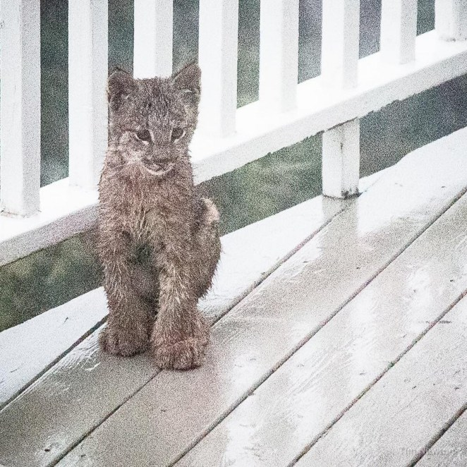 Look at the size of those lynx paws!
