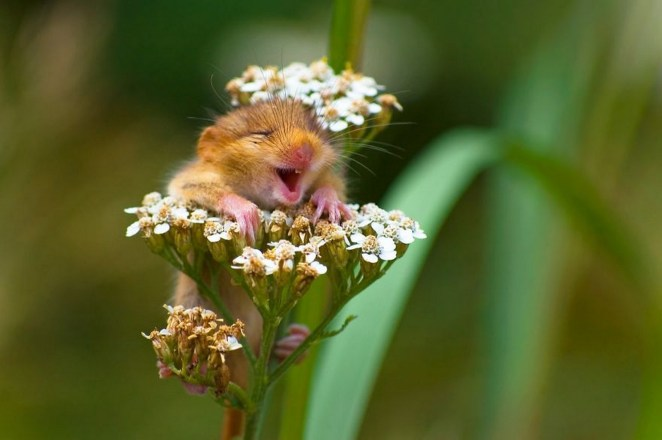 """2017 Comedy Wildlife Photography Award Winners - Winner Of The Alex Walker's Serian On The Land Category """"The Laughing Dormouse"""" By Andrea Zampatti."""