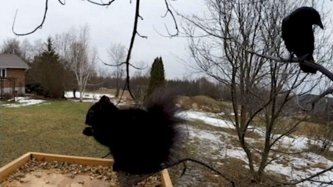 Wild Crow Speaks Squirrel Eating Peanuts Bird Feeder
