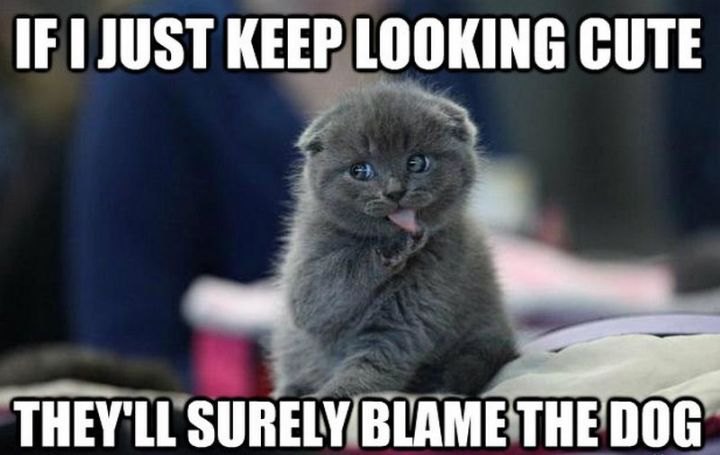 "55 Funny Cat Memes - ""If I just keep looking cute, they'll surely blame the dog."""