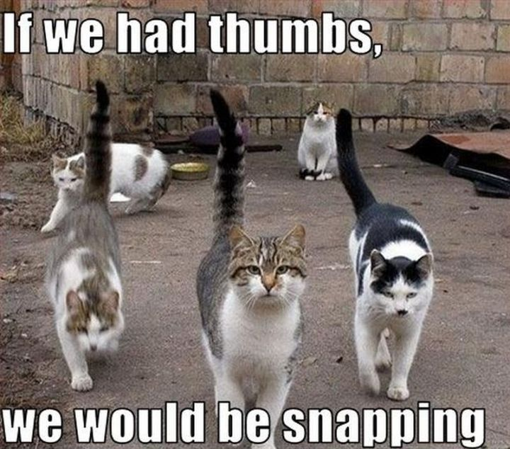 "55 Funny Cat Memes - ""If we had thumbs, we would be snapping."""