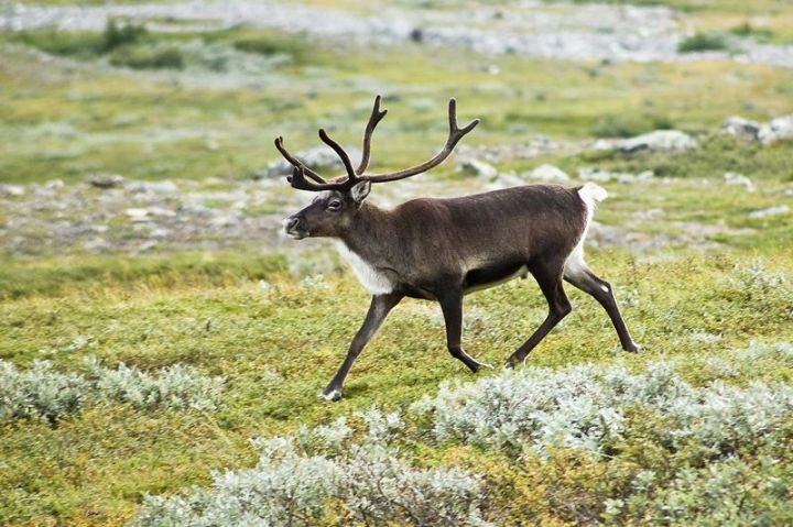 27 Amazing Animal Facts - Reindeer animal facts: In order to capture more sunlight, reindeer eyes turn blue during the winter.