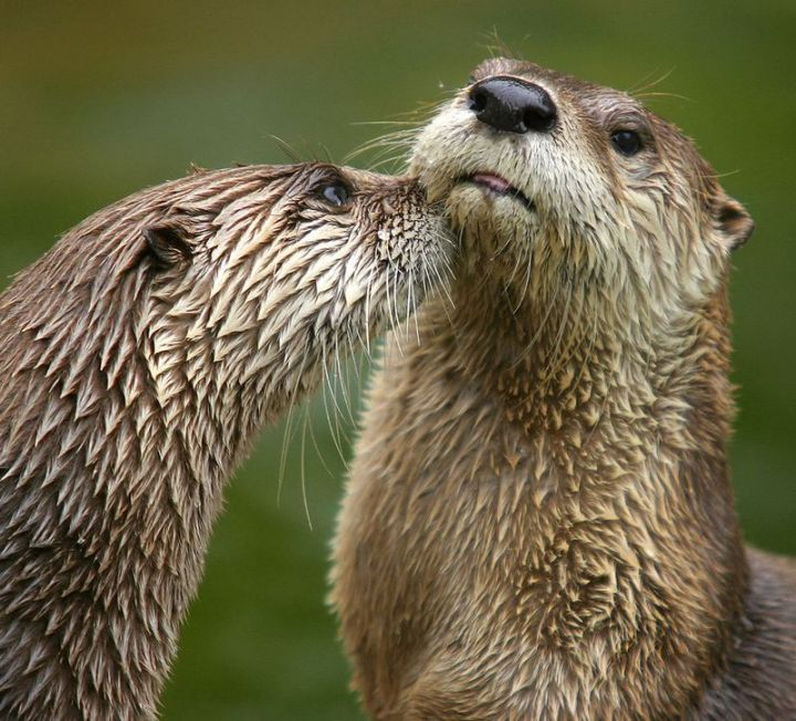 27 Amazing Animal Facts - Otters have incredibly thick fur. They are thought to have around 1,000,000 hairs per square inch.