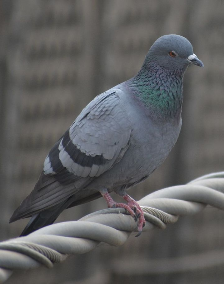 27 Amazing Animal Facts - Studies show that pigeons are able to do math at a similar level to monkeys.