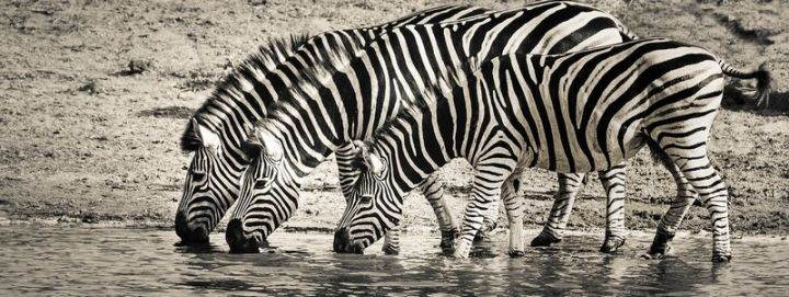 27 Amazing Animal Facts - The stripes on zebras are a result of years and years of evolution to help ward off bugs and insects.