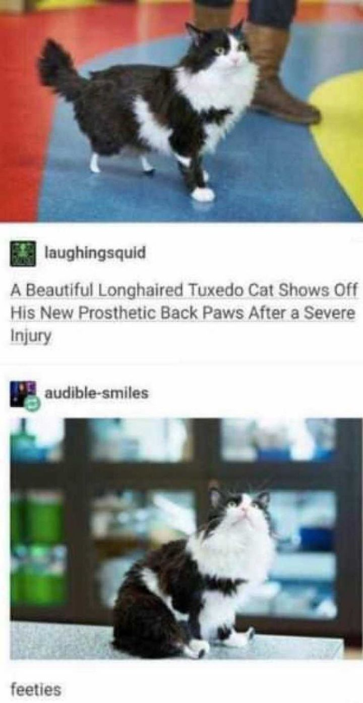 """101 Smile Memes - """"laughingsquid: A beautiful longhaired tuxedo cat shows off his new prosthetic back paws after a severe injury. audible-smiles: feeties."""""""