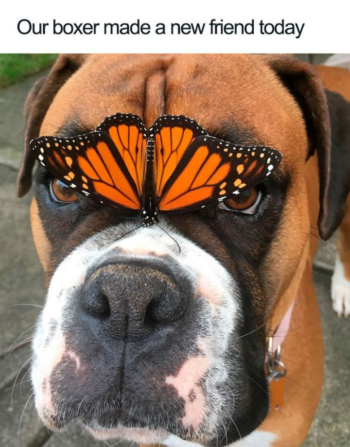 "55 Cute Dog Posts - ""Our boxer made a new friend today."""