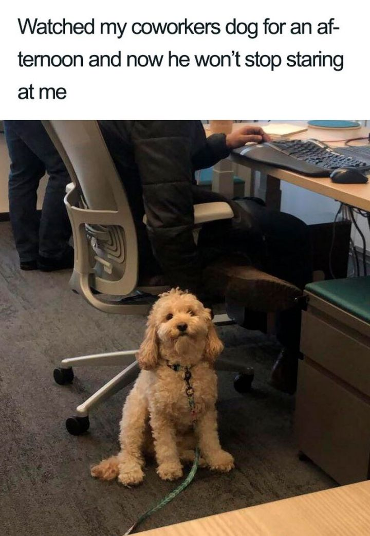 "55 Cute Dog Posts - ""Watched my coworkers dog for an afternoon and now he won't stop staring at me."""