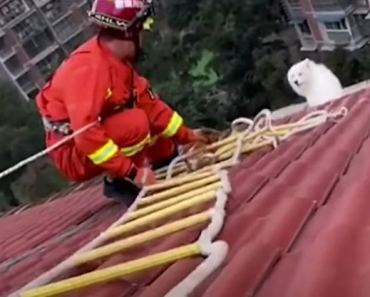 Adorable Samoyed Dog Gets Trapped on Rooftop.