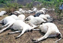 Photo of Lightning strike 15 cows to death in Ekiti