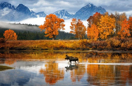 moose-in-wyoming