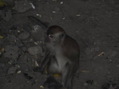 Monyet di sekitar teluk Bayur