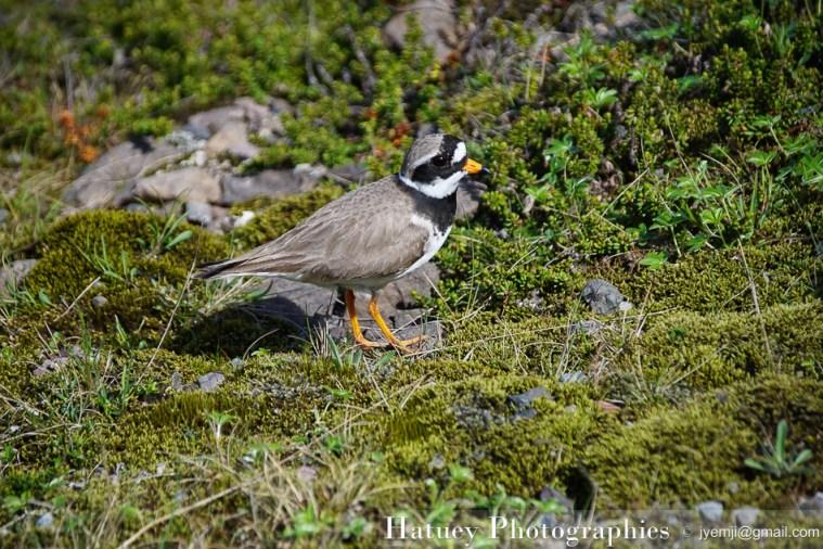 Iceland, Islande - Pluvier grand gravelot -Faune et Oiseaux d'Islande TravelPhotography ©Hatuey Photographies
