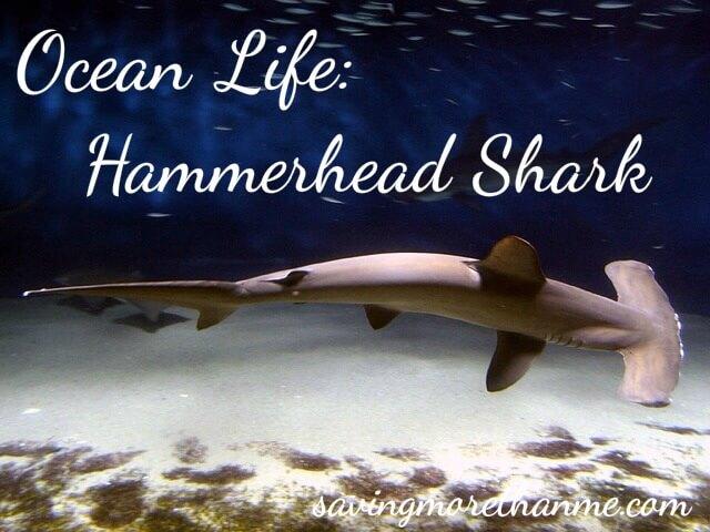 Ocean Life: Hammerhead Shark