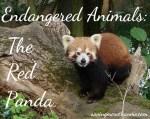 Endangered Animals: The Red Panda