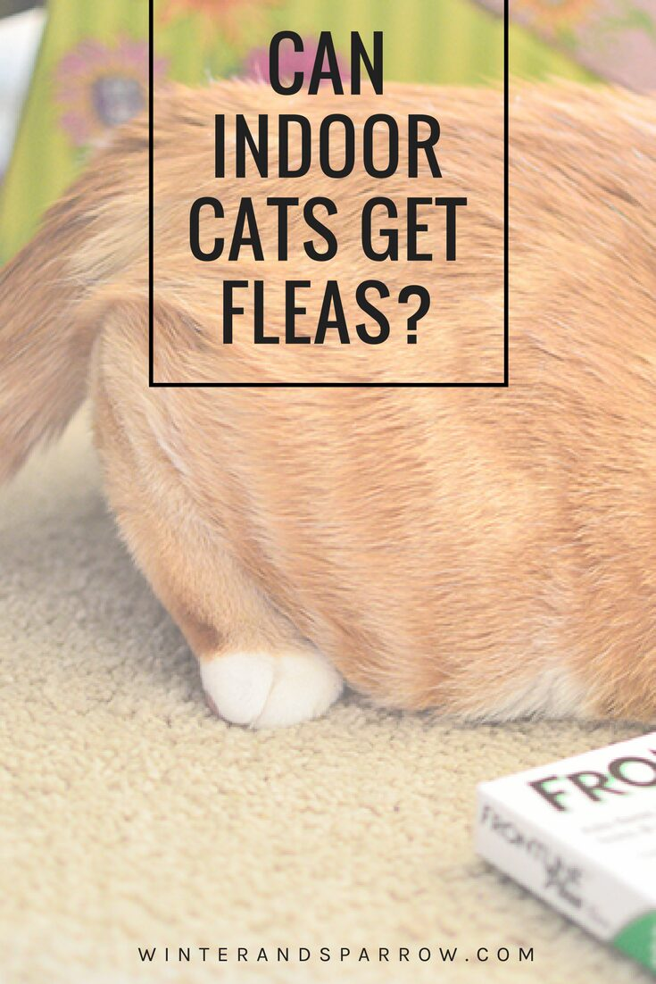 Can Indoor Cats Get Fleas? #PetApproved #ad @walmart | winterandsparrow.com