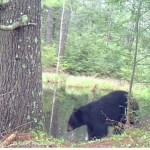 Black bear video captured by trail camera shows mother with cub at a beaver wetland, where bears eat tender greens in spring.