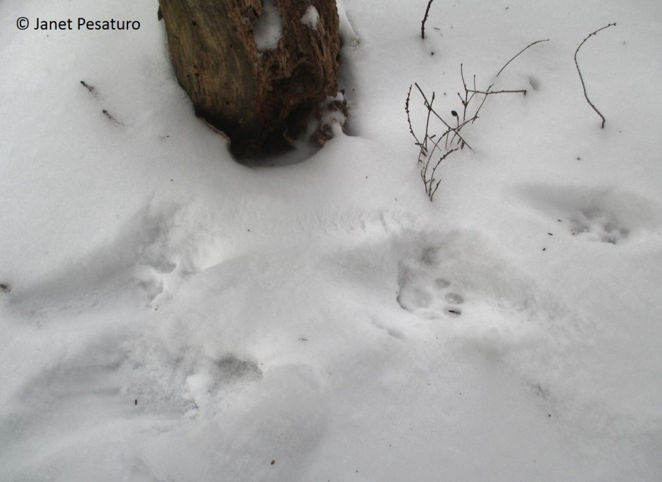 Bobcats use scat and urine to important resources, and this trail camera video shows 4 examples of a bobcat scent marking.