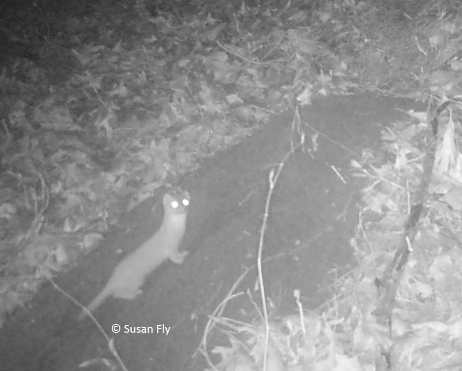 Trail camera photos of mom and dad groundhogs at burrow, prior to birth of young. Also photos of some inquisitive visitors at the den.