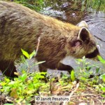 Raccoon hands are so sensitive that they can identify objects by touch, an adaptation to feeling around for food in swamps at night. See this trail cam video of raccoons foraging.