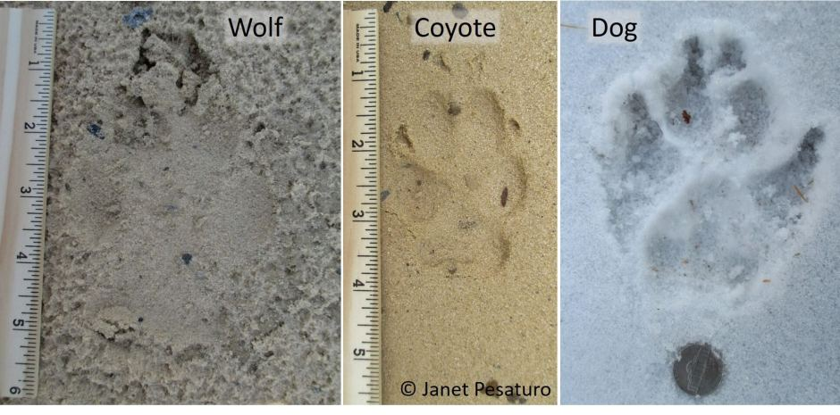 Tips on tracking wolves include distinguishing wolf from dog and coyote tracks, as well as scat ID and finding travel corridors.
