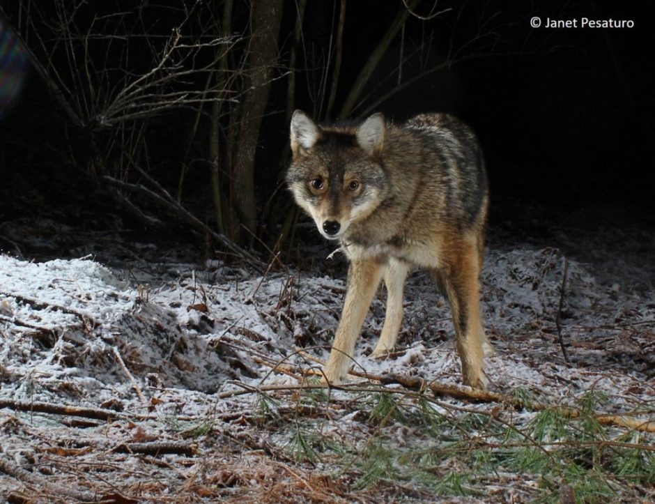 Eastern Coyotes at Ren...