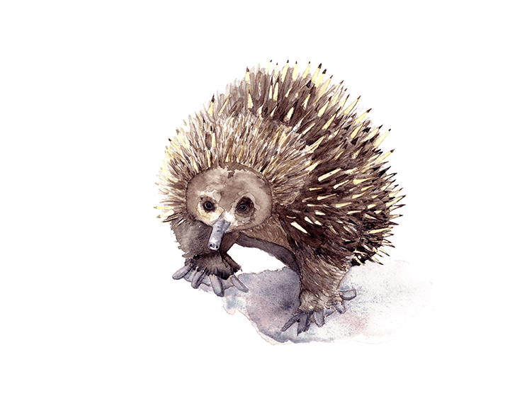 Echidna Illustration by Jennifer Ross (Winter Owls)