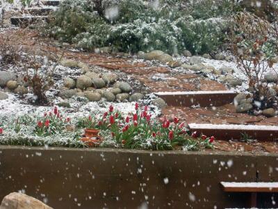 tulips-in-snow-200900000_4_15-blog