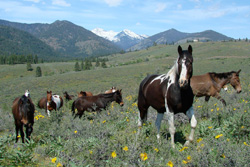 Wild horses on a flowery hillside