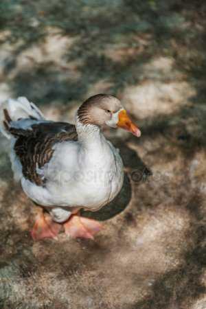 Фото из сказки гуси лебеди – Картинки гуси лебедя ...