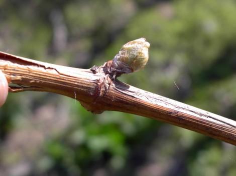 Die Knospen in unseren Reben im Weinberg sprießen