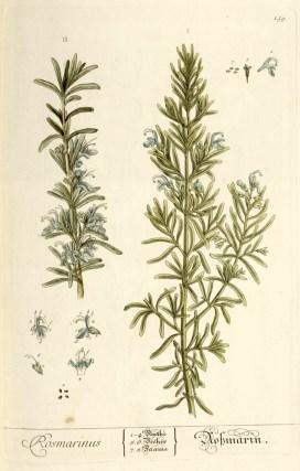 Abb._3_Rosmarinus_-_Elisabeth_Blackwell,_1754