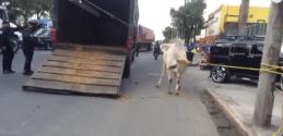 Toros sueltos provocan caos en Iztapalapa Captura-de-pantalla-2016-08-10-a-las-11.07.08-a.m.