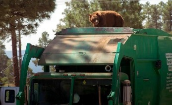 Osos en un camión en busca de arbol