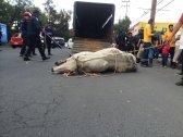Toros sueltos provocan caos en Iztapalapa toros1