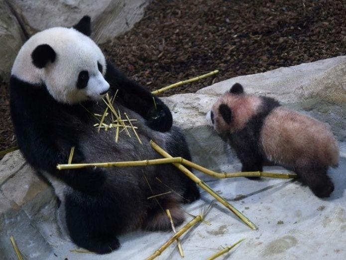 Primer bebé panda de Francia hace su primera aparición pública 427e0b8b1eaa77be8979c3809f3692c6ef89c02a.jpg_539665225