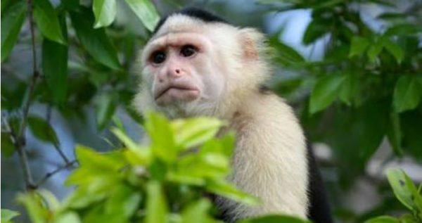 Buscan al mono capuchino de Reforma tras fugarse de una persecución DZUr4wmVoAAm-za-600x317