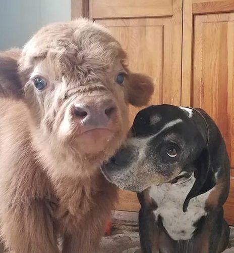 Conoce a Baby James, la vaca que se cree perro James1-464x500